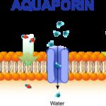 Dry skin Aquaporin venom