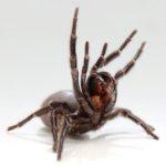 Guiness World Records 2017 venomous spider