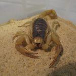 Venomtech Kent business scorpion